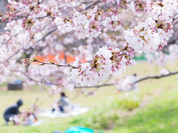 3月21日に東京で開花宣言された桜。今年は寒さの影響で、長く楽しめるという予報もある。集まるメンバーを変えて何度もお花見、というのもいいかもしれない 画像:KY / PIXTA(ピクスタ)
