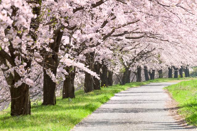 春の風物詩といえば桜並木 写真:Anesthesia/PIXTA(ピクスタ)